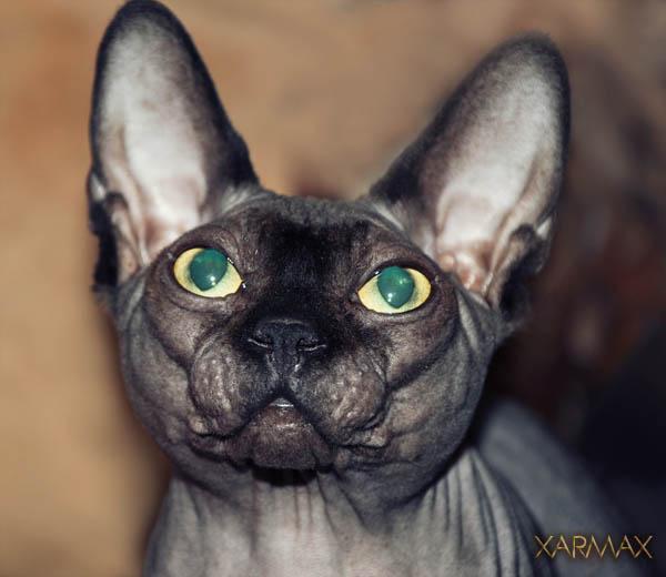 Pictures sphynx, photos sphynx, sphynx kittens for sale