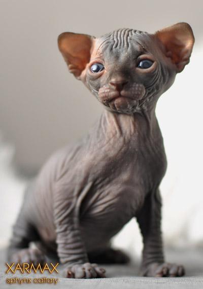 Xarmax - Graduates, Sphynx kittens for sale, hairless